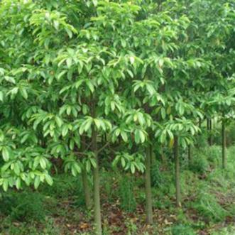 紅河甜櫻桃出售_昆明花卉種子、種苗批發-宜良縣馬紅艷苗木種植園