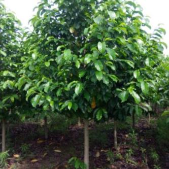 文山甜櫻桃種植基地_甜櫻桃價格相關-宜良縣馬紅艷苗木種植園
